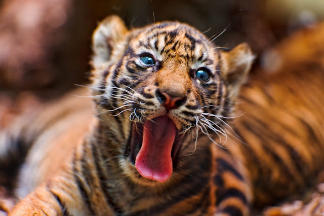 Yawning tiger cub II by Tambako the Jaguar from flickr (CC-ND)