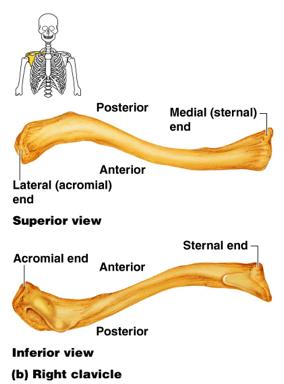 Complete Graduate Anatomy Course: The Pectoral Girdle 1: A ...