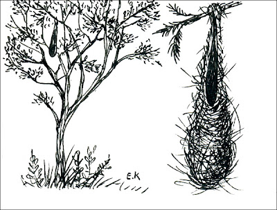 nido de Boyero negro Cacicus solitarius