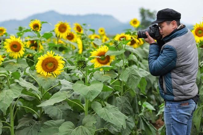 Hình ảnh cánh đồng hoa hướng dương ở Nghĩa Đàn - Nghệ An