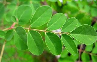 manfaat teh daun kelor, manfaat daun kelor untuk kanker, gambar daun kelor, cara mengolah daun kelor, manfaat daun kelor bagi kesehatan dan kecantikan, daun kelor adalah, efek samping daun kelor, manfaat daun kelor untuk rahim