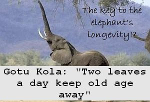 https://foreverhealthy.blogspot.com/2012/04/gotu-kola-two-leaves-day-keep-old-age.html#more