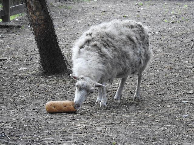 owca bretońska jest najmniejsza ze wszystkich owiec, ma 45 cm wysokości