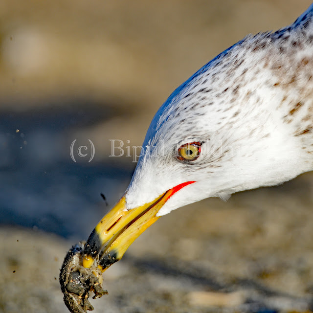 Sea Gull Breaking a Crab