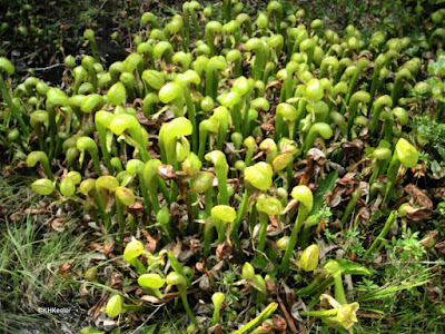 pitcher plants, Oregon