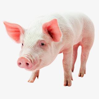 cerdo hamshire