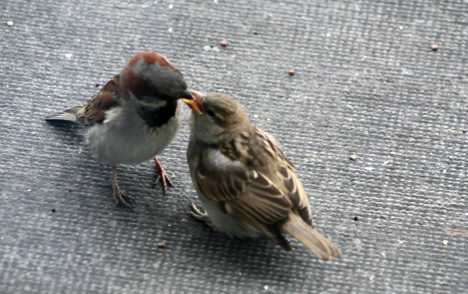 Baby sparrow hawk - photo#44