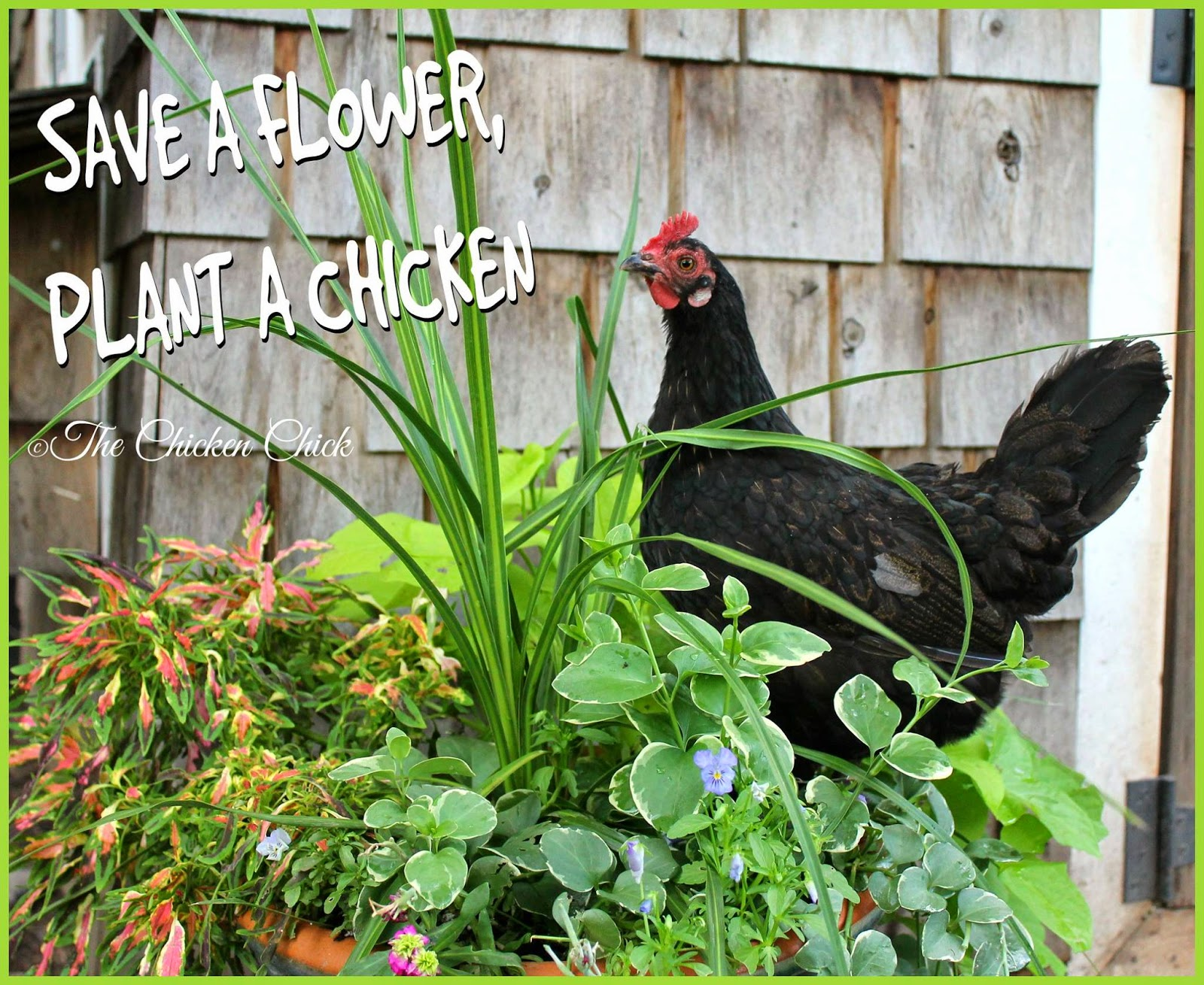 Save a flower, plant a chicken.