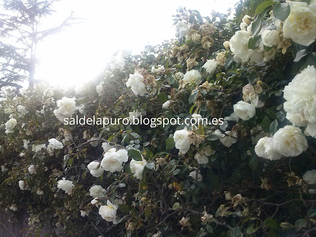 muro-con-rosas blancas