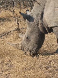 African Wildlife: White Rhino Facts