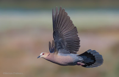 Red-Eyed Dove in Flight - Capturing / Tracking Variables for Improved Birds in Flight Photography