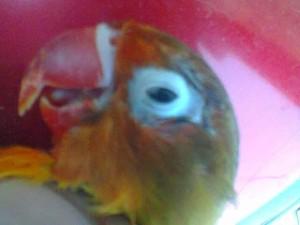 Burung Lovebird -  Penanganan Dasar dan Hal-Hal yang Harus Disiapkan Untuk Menangani Burung Lovebird yang Sakit - Penangkaran Burung Lovebird
