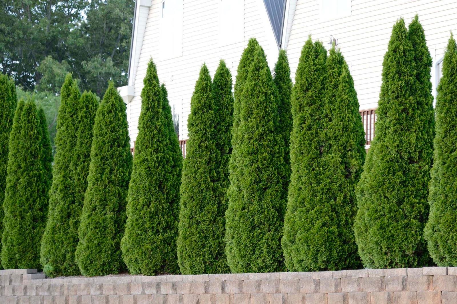 Pro Turf Landscaping Shrub Blog Series Part Three Privacy