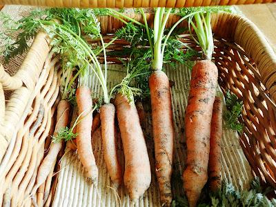 ロデリカにんじん(rodelica carrot)