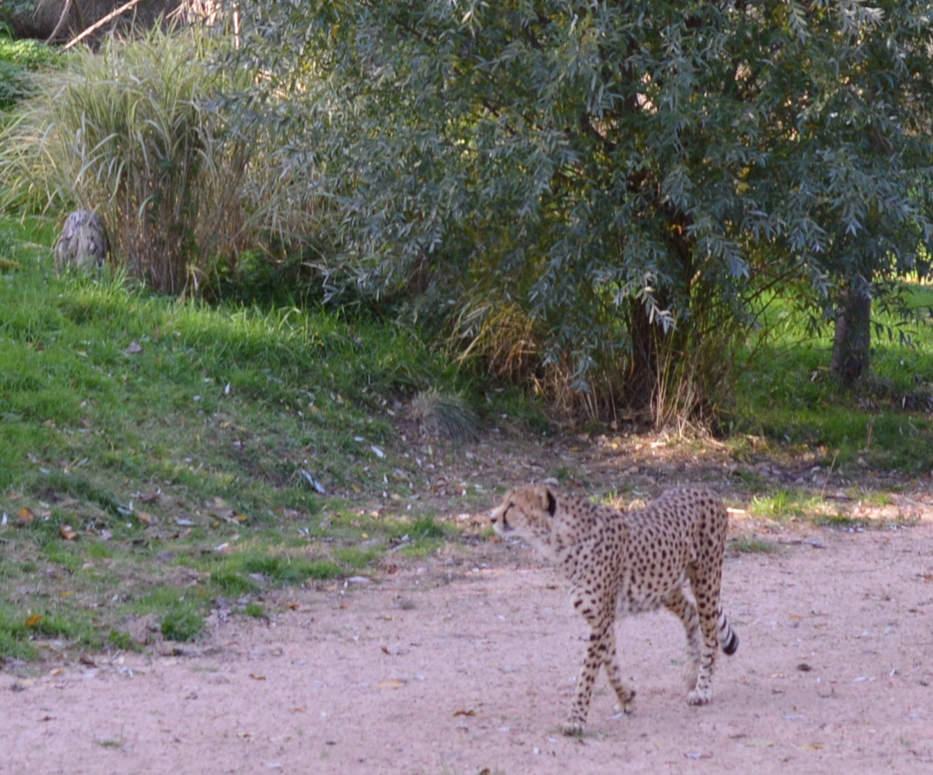 Tips for Visiting Chester Zoo from Newcastle - Cheetah