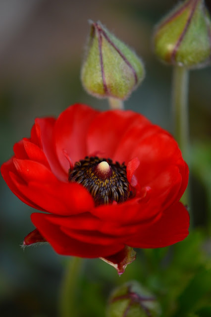 ranunculus, asiaticus,  spring bulbs, desert garden, small sunny garden, photography, amy myers