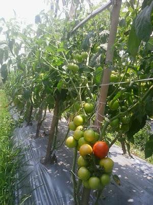 Tomat-Natama-Super-f1-di -Medan