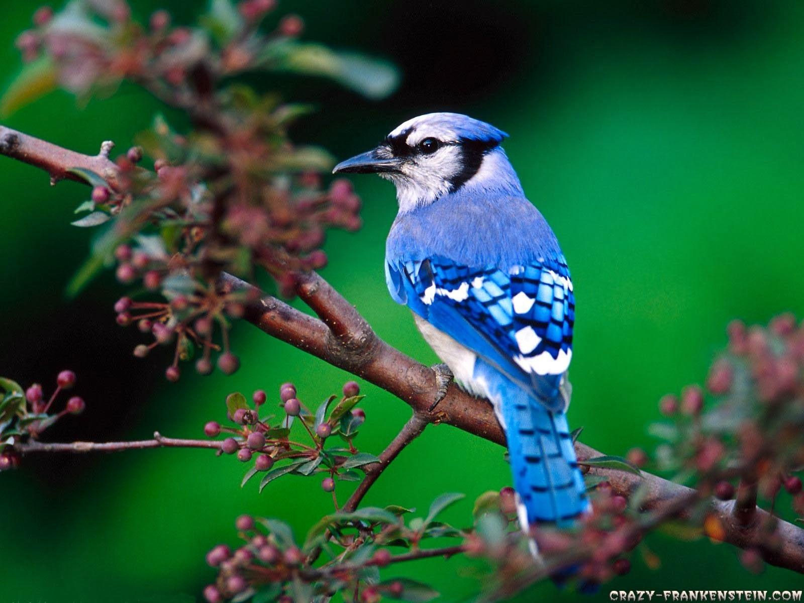 Beautiful Desktop Wallpapers 2014 Beautiful Birds Wallpapers Hd
