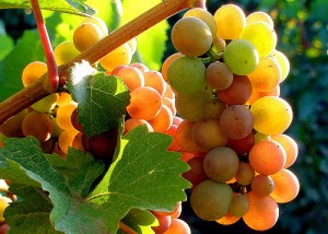 Todo acerca del Pinot Gris