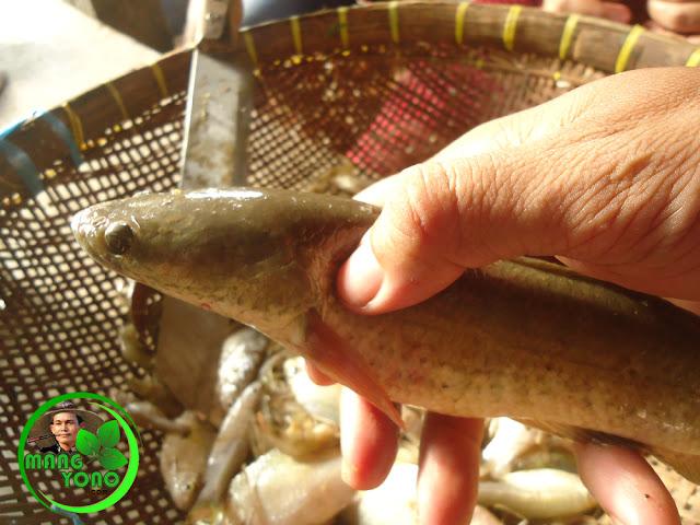 Ikan Gabus / Kocolan / Boncel