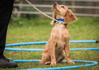 Teaching directional commands for the dog agility beginner