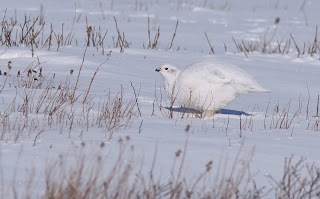 Willow Ptarmigan, Winter Plumage in Newfoundland