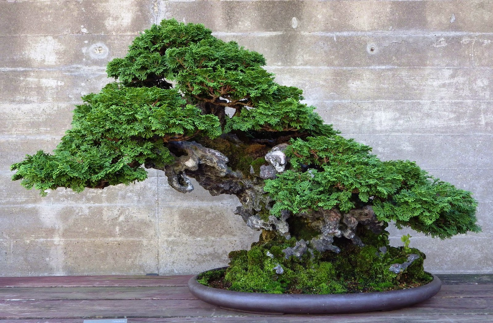 Bonsai Cypress Tree Care Bonsai Tree