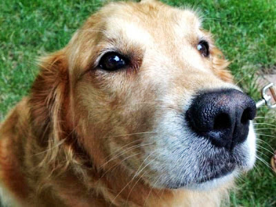 Four Legged Friends And Enemies Dogs Attack Raleigh Woman Golden Retriever On Morning Walk