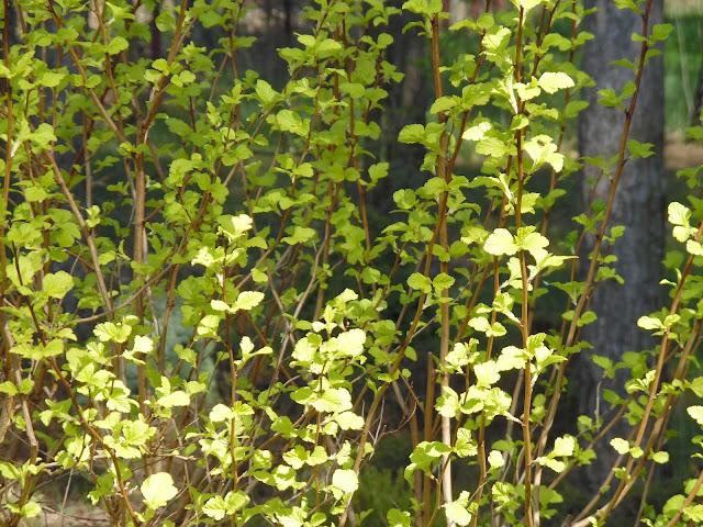 physocarpus opulifolius Luteus