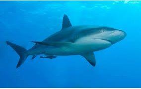 Jenis Ikan Laut Hias Aquarium Sharks