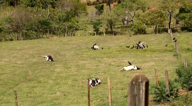 Suspeita é que vacas tenham sido envenenadas em Caldas (MG) — Foto: Ricardo Caroba/EPTV