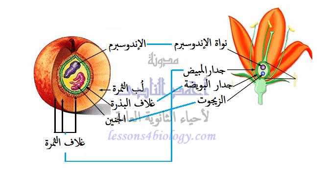 تكوين الثمرة والبذرة من الزهرة