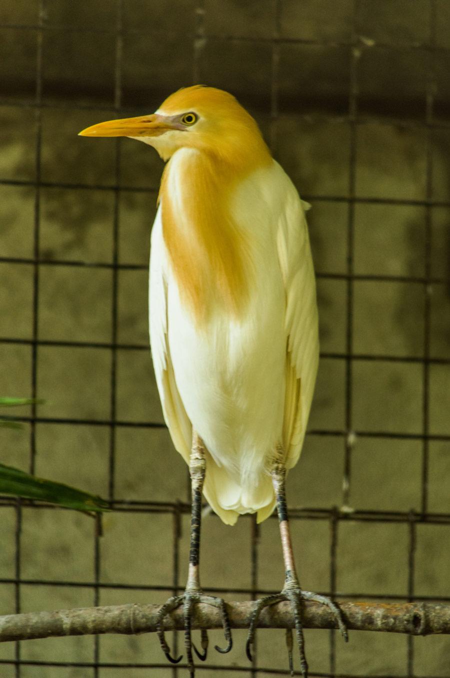 Botolan Wildlife Farm Cattle Egret