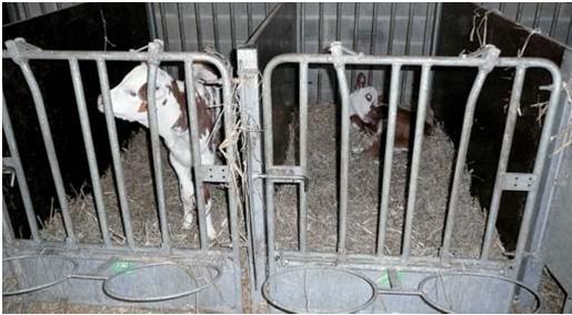 infection nombril veau plus