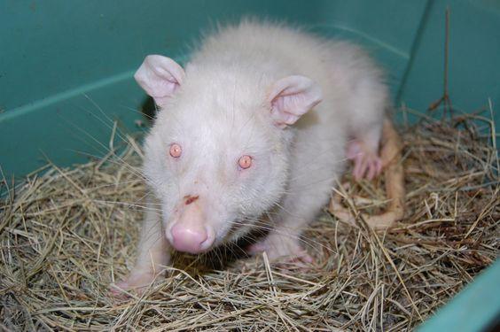 Opossum | A-Z List of 125 Rare Albino Animals [Pics]