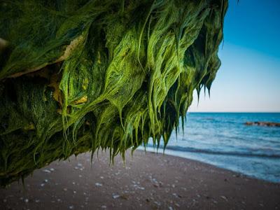 deniz yosunu