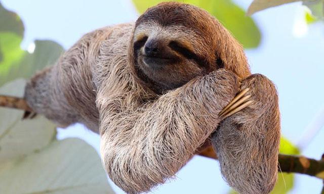 kukang atau sloth