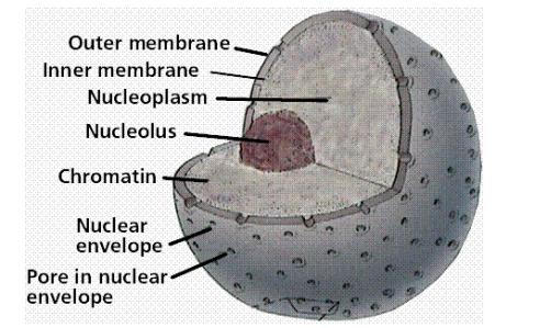 Struktur nukleus. Kromatin, DNA yang terurai yang menempati ruangan dalam selubung nukleus.