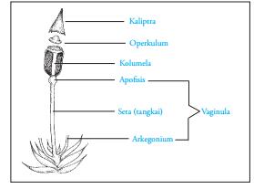 sporofit tumbuhan lumut