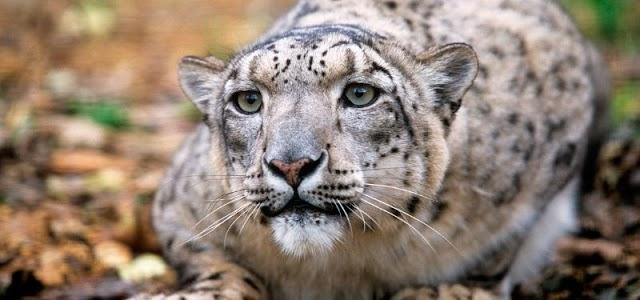 10 felinos hermosos que quizá no conoces
