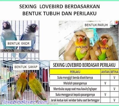 cara memprediksi jenis kelamin lovebird
