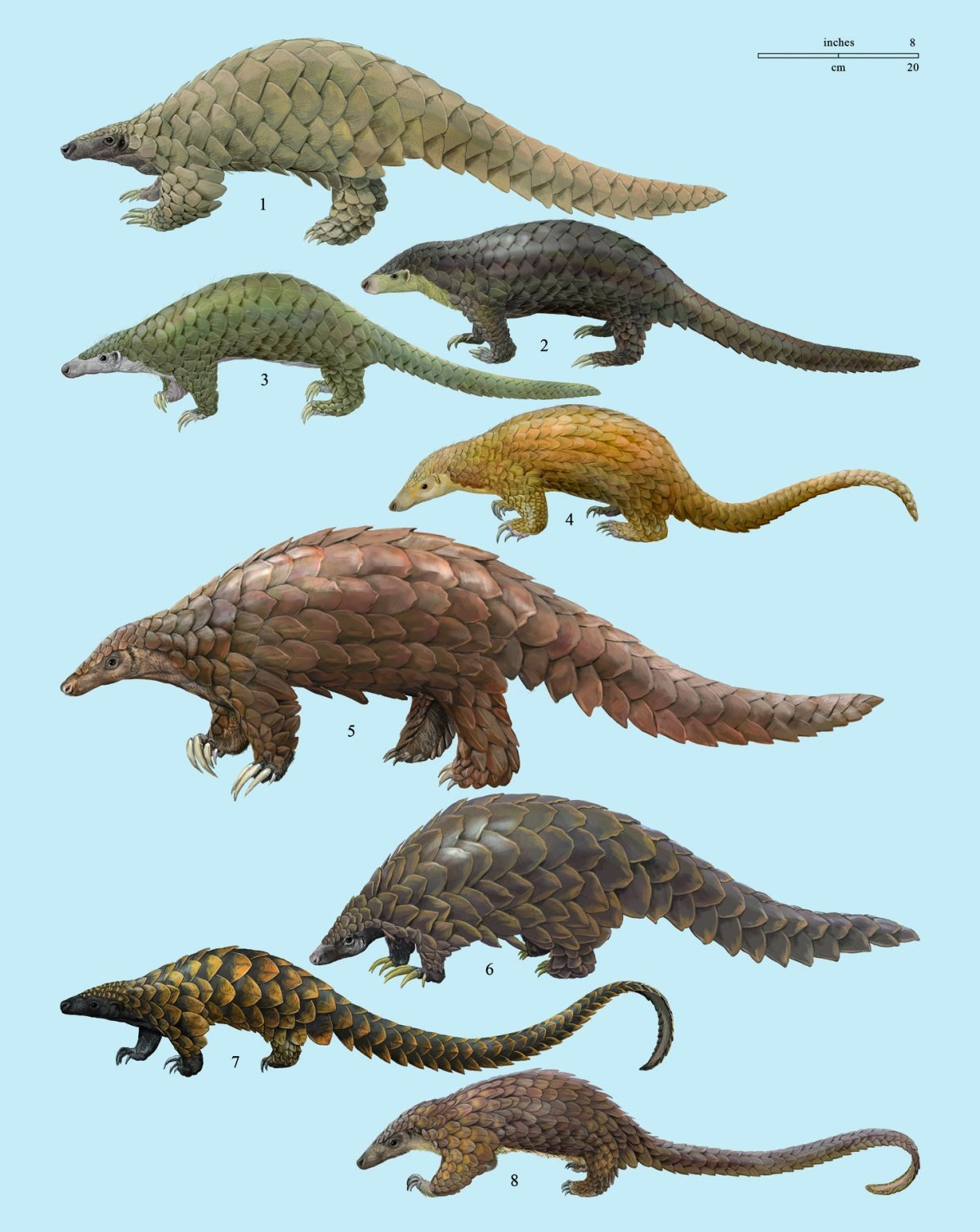 Species New to Science: [Mammalogy] Pangolins of the World ...