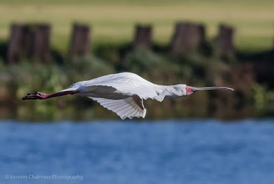 Spoonbill in Flight - Woodbridge Island, Cape Town Copyright Vernon Chalmers