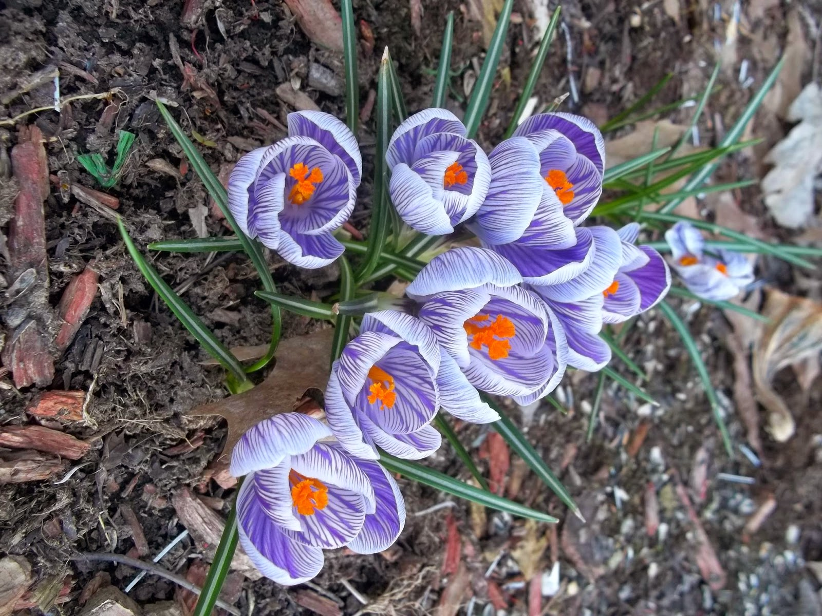 Free Purple and White Crocus Flower Photo Image.