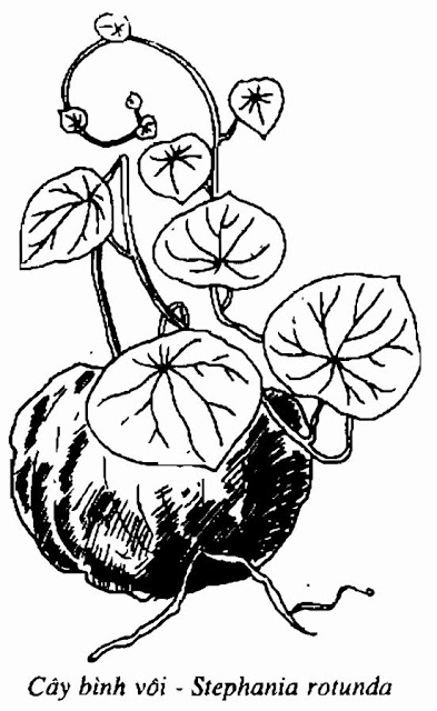 Hình vẽ CÂY BÌNH VÔI - Stephania rotunda - Nguyên liệu làm Thuốc Ngủ, An Thần, Trấn Kinh