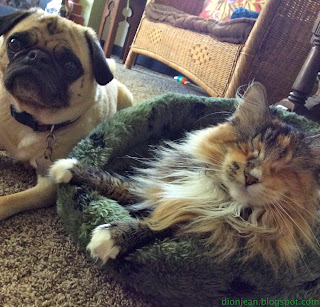 pug and blind cat