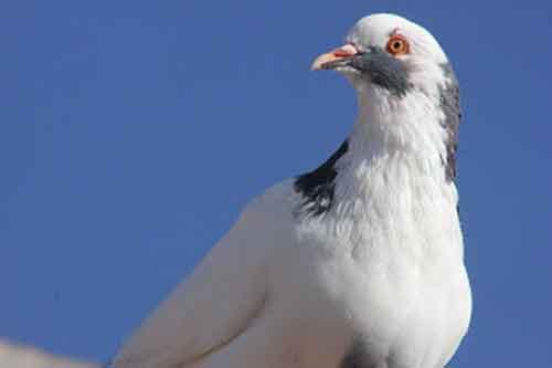 Warna Putih - karakter burung merpati