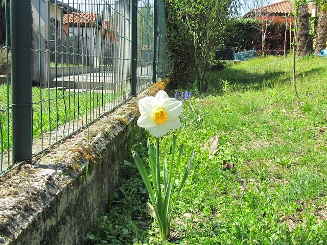 Narciso Bianco Fiore