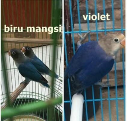 Unduh 45  Gambar Burung Lovebird Mangsi  Terbaru
