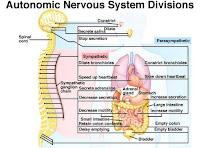 Informasi meditasi: Sistem syaraf otonom